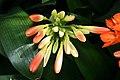 Clivia miniata 12zz.jpg
