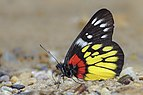 Close wing position of Delias pasithoe Linnaeus, 1767 – Red-base Jezebel Butterflies of Pakke - 12.jpg