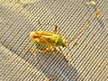 Closterotomus norwegicus (Miridae) - (imago), Elst (Gld), the Netherlands.jpg