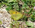 Clouded Yellow. Colias crocea - Flickr - gailhampshire (2).jpg