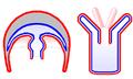 Cnidaria medusa n polyp.png
