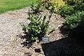 Coastal Georgia Botanical Gardens, Camellia sasanqua 'Green 94-010'.jpg