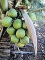 Coco verde - Fazenda Santa Rita - Várzea Redonda PE - panoramio.jpg