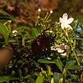 Coconut Beetle.jpg