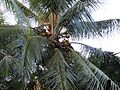 Coconut Palm - Flickr - treegrow (1).jpg