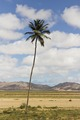 Coconut tree in Boa Vista, Cape Verde, December 2010.tif
