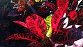 Codiaeum Variegatum-Croton AlaWai Blvd.jpg