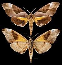 Coequosa triangularis MHNT Cut 2010 0 361, Sydney, Australia, male.jpg