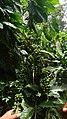Coffee beans in plantation.jpg