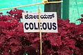 Coleus 7092.JPG
