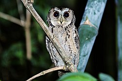 Collared Scops Owl(Otus lettia) by Jack Walf .jpg