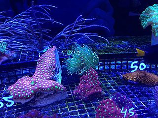 Aquaculture of coral