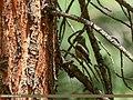 Common Crossbill (Loxia curvirostra), Naltar, Gilgit, Pakistan (37056896831).jpg