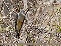 Common Cuckoo (Cuculus canorus) (27350259781).jpg
