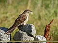 Common Cuckoo (Cuculus canorus) (36955470831).jpg