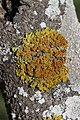 Common Orange Lichen - Xanthoria parietina (43016483322).jpg