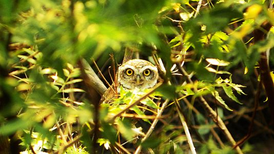 An owl seen amidst thick foliage.