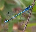 Common blue damselfly (6001619383).jpg