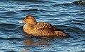 Common eider female at Jones Beach (04713).jpg