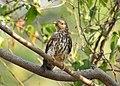 Common hawk cuckoo (Hierococcyx varius) 13.jpg