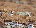 Common ringed plover (Charadrius hiaticula).jpg
