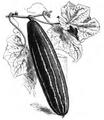 Concombre vert très long de Chine Vilmorin-Andrieux 1883.png