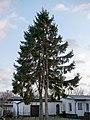 Conifere, Ribnitz-Damgarten (P1070875).jpg