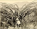Contributions from the U.S. National Herbarium (1906) (20063903114).jpg