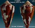 Conus exiguus 2.jpg