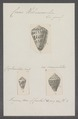 Conus hebraeus - - Print - Iconographia Zoologica - Special Collections University of Amsterdam - UBAINV0274 086 05 0010.tif