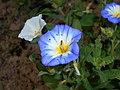 Convolvulus tricolor 2015-07-15 4416.jpg