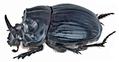 Copris lunaris (Linné, 1758) male lateral (15557710616).png