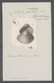 Corbula gallica - - Print - Iconographia Zoologica - Special Collections University of Amsterdam - UBAINV0274 079 12 0002.tif