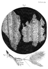 Cork Micrographia Hooke.png
