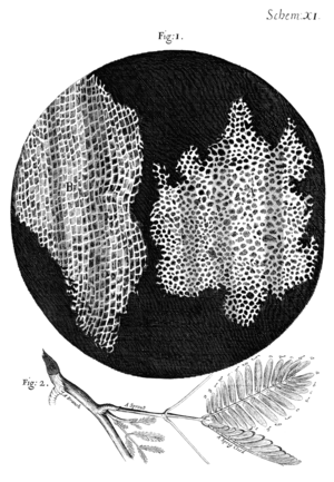 "History of cell membrane theory - Sketch of cork through a microscope. Cork was one of the first substances examined by Robert Hooke through his microscope and he found that it was composed of thousands of minute pockets he named ""cells""."