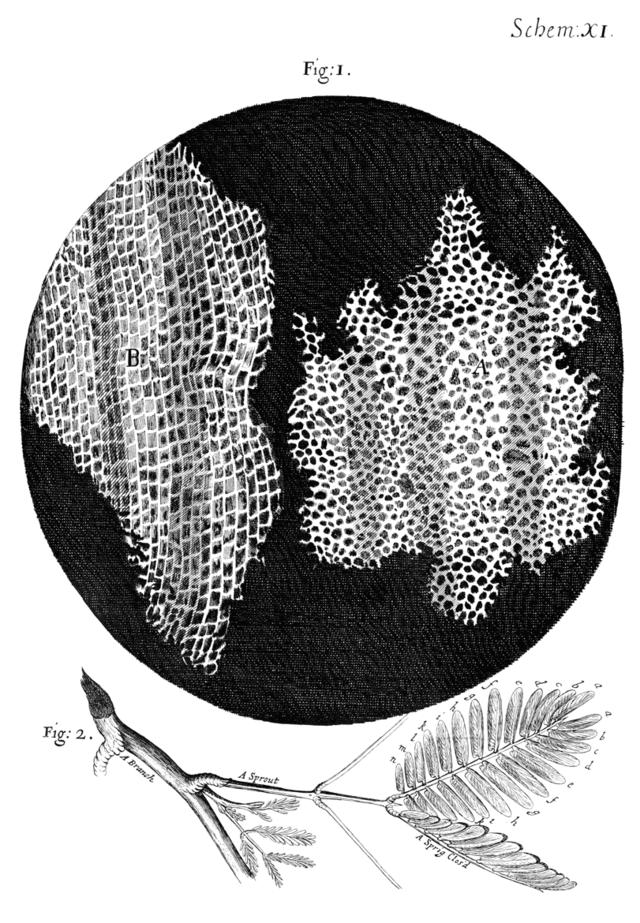 Dibujo de la estructura del corcho observado por Robert Hooke bajo su microscopio y tal como aparece publicado en su libro