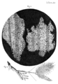 engraving of cork cells from Hooke's Micrographia, 1665