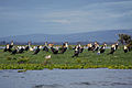 Cormorants on Lake Naivasha (5232080253).jpg