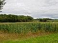 Corn field - panoramio.jpg