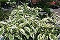 Cornus florida Cherokee Daybreak 3zz.jpg