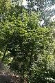 Cornus x rutgersensis Galaxy 3zz.jpg