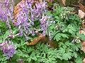 Corydalis solida3.jpg