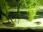Corydoras kanei - Scleromystax salmacis [ modifica modifica ...