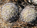 Coryphantha cornifera (5760832085).jpg