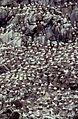 Cotes D Armor Sept Iles Reserve Oiseaux - panoramio.jpg
