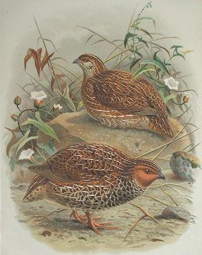 Neuseeländische Schwarzbrustwachtel (Coturnix novaezelandiae), Männchen (im Vordergrund) und Weibchen (im Hintergrund)