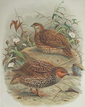 New Zealand quail - Image: Coturnix novaezelandiae