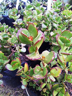 Cotyledon woodii - red flowered South African plant.jpg