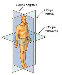 Coupe anatomie.jpg