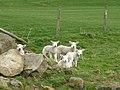 Coverdale lambs - geograph.org.uk - 1801192.jpg